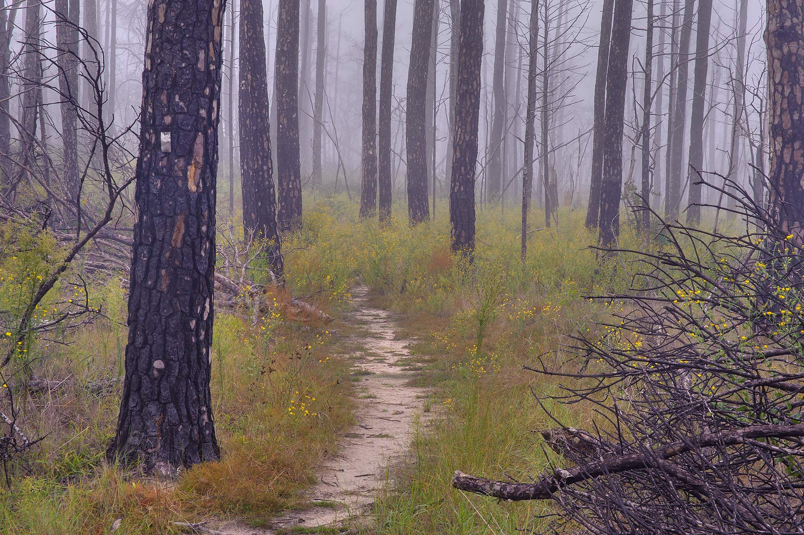 Forest in fog near south end of Roosevelt Cutoff...in Bastrop State Park. Bastrop, Texas