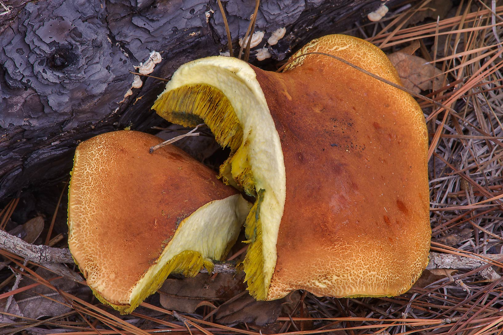 Boletus mushroom on Lost Pines Trail in Bastrop State Park. Bastrop, Texas