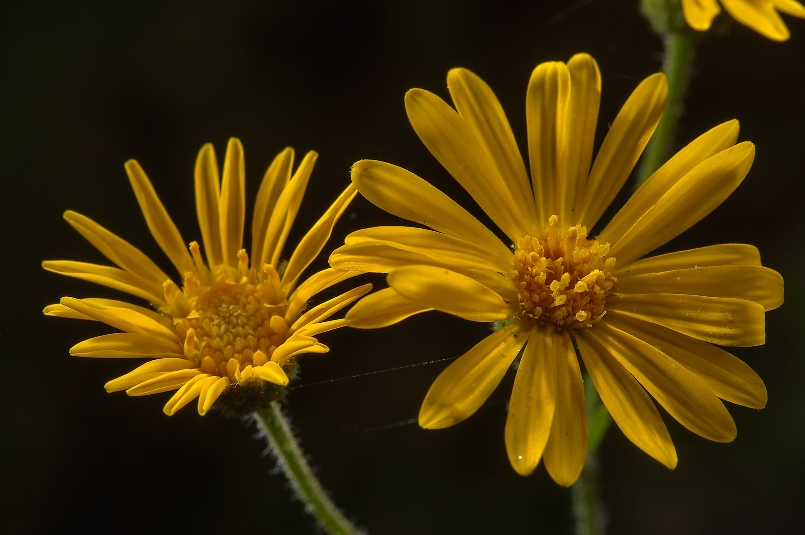 Yellow asters on Lost Pines Trail in Bastrop State Park. Bastrop, Texas