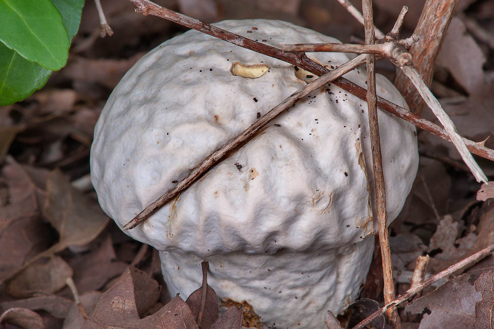 Brain puffball mushroom (Calvatia craniiformis) in Lick Creek Park. College Station, Texas