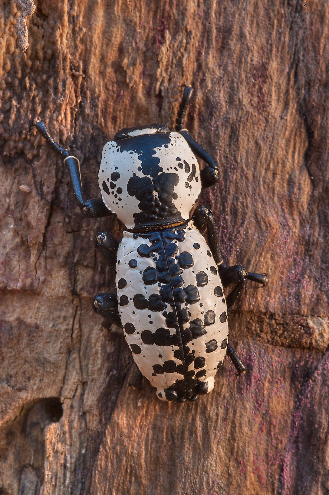 Ironclad beetle (Zopherus haldemani ) at sunrise...Creek Park. College Station, Texas