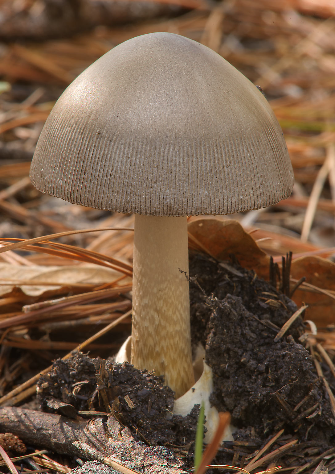 Amanita fulva like mushroom on Little Lake Creek...National Forest. Richards, Texas