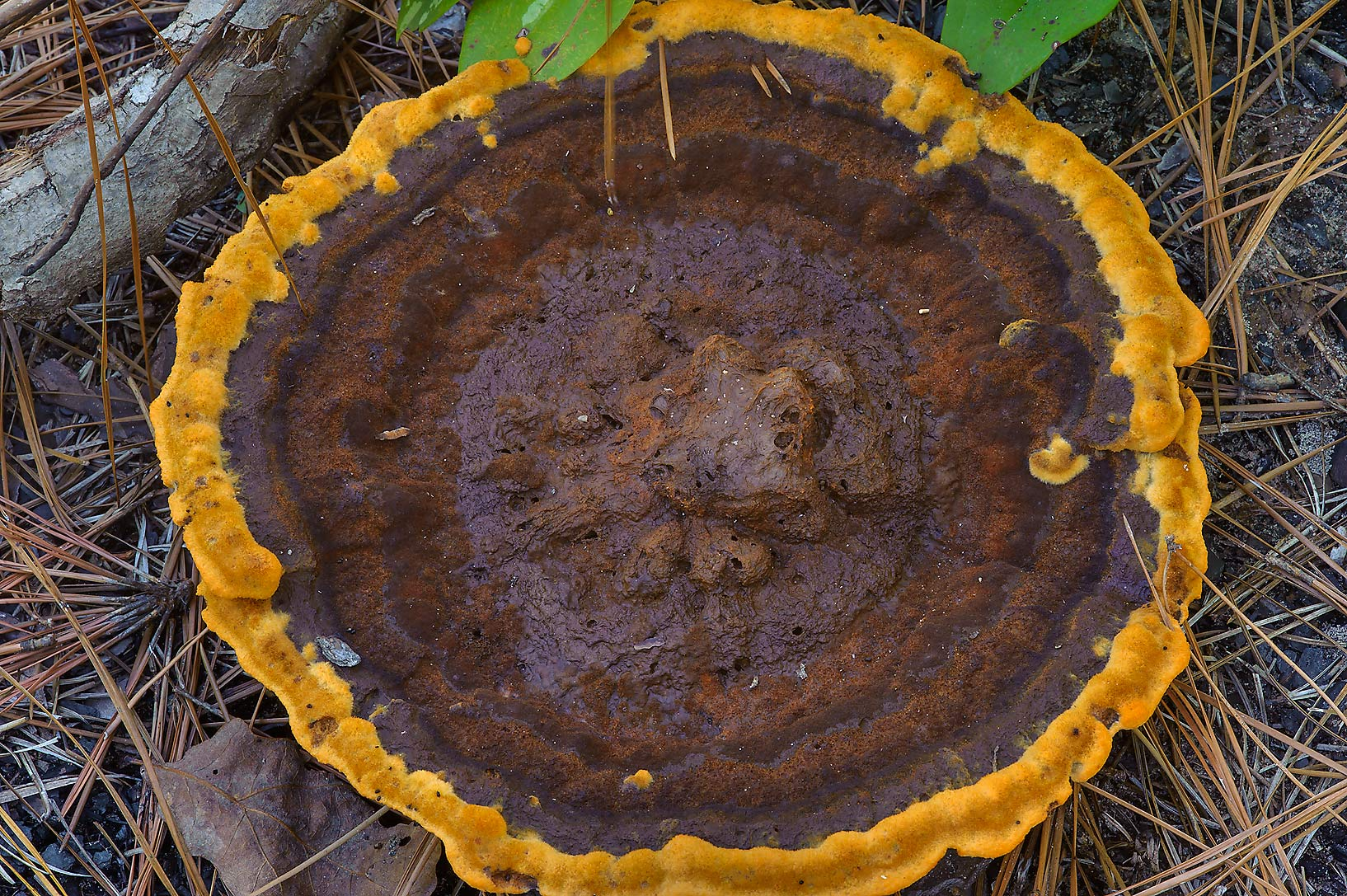 Mature velvet-top fungus (Phaeolus schweinitzii...National Forest. Richards, Texas