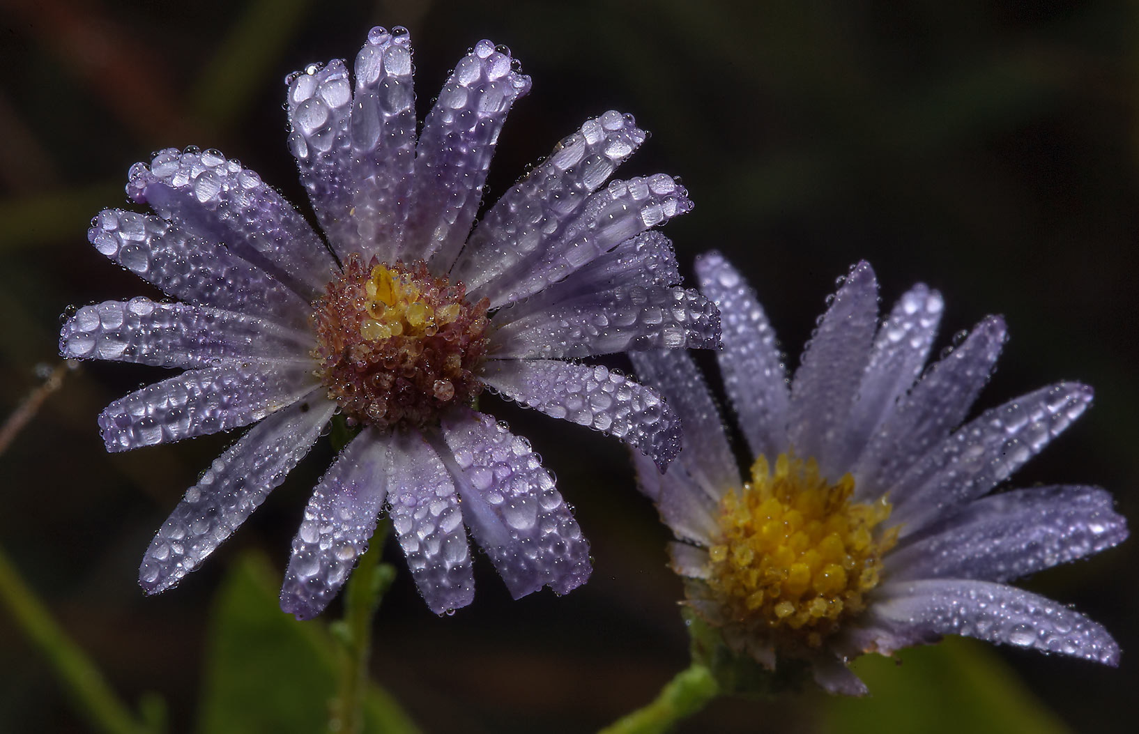 Blue aster flowers in dew on Moore's Hill Outcrop at FM Rd. 3090 near Navasota. Texas