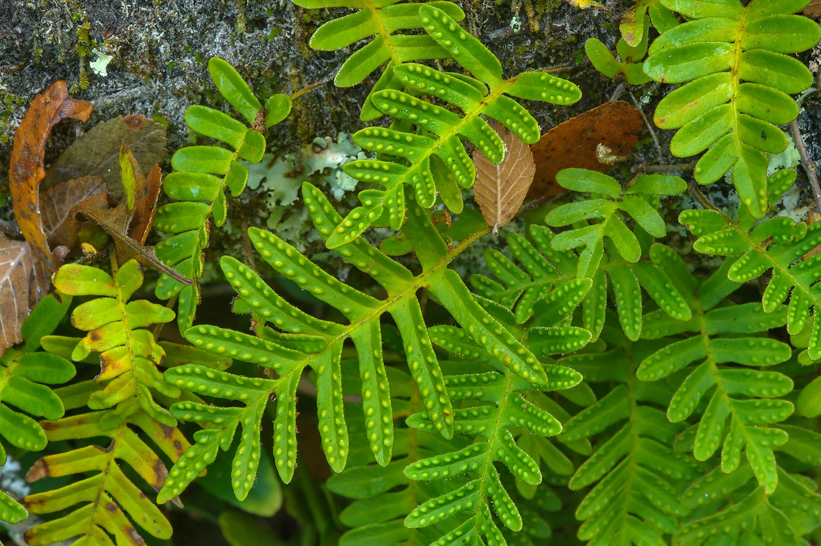 Resurrection fern (Pleopeltis polypodioides) on...National Forest near Huntsville, Texas