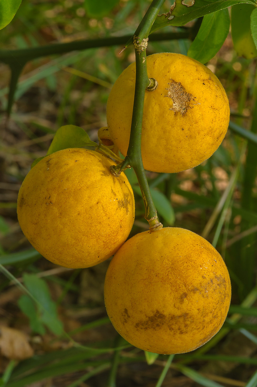 Wild citrus fruits of Trifoliate orange (Poncirus...National Forest near Huntsville, Texas
