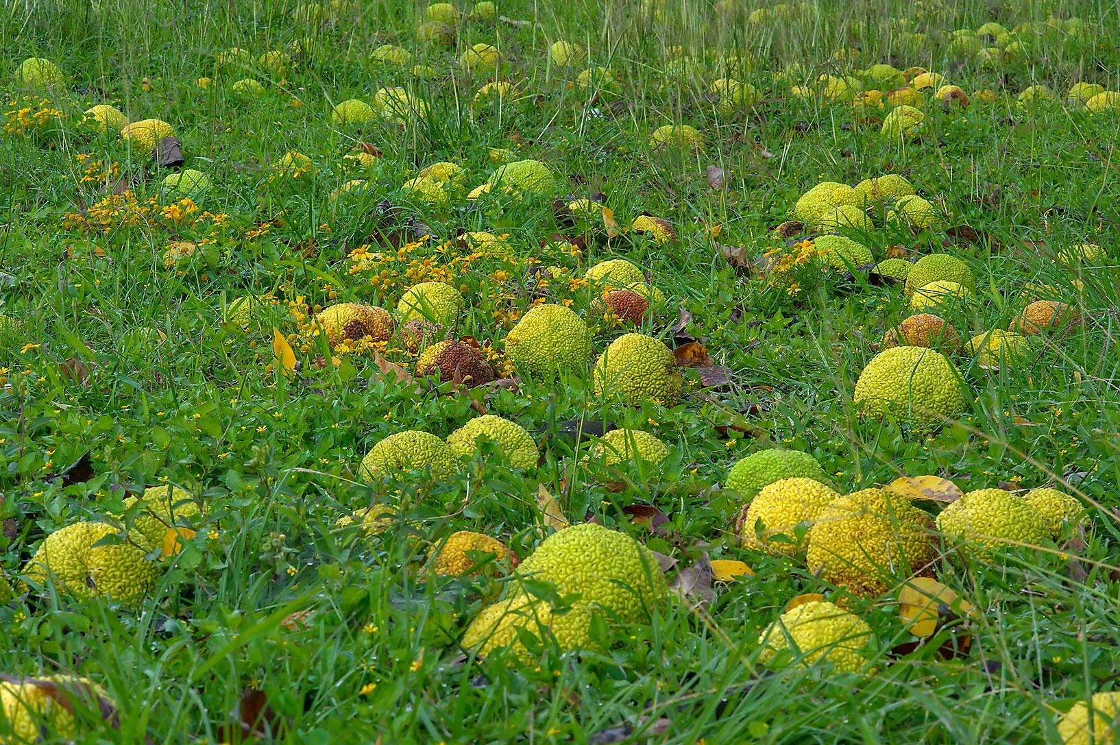 Horse apples (osage orange) on a lawn in Lemontree Park. College Station, Texas