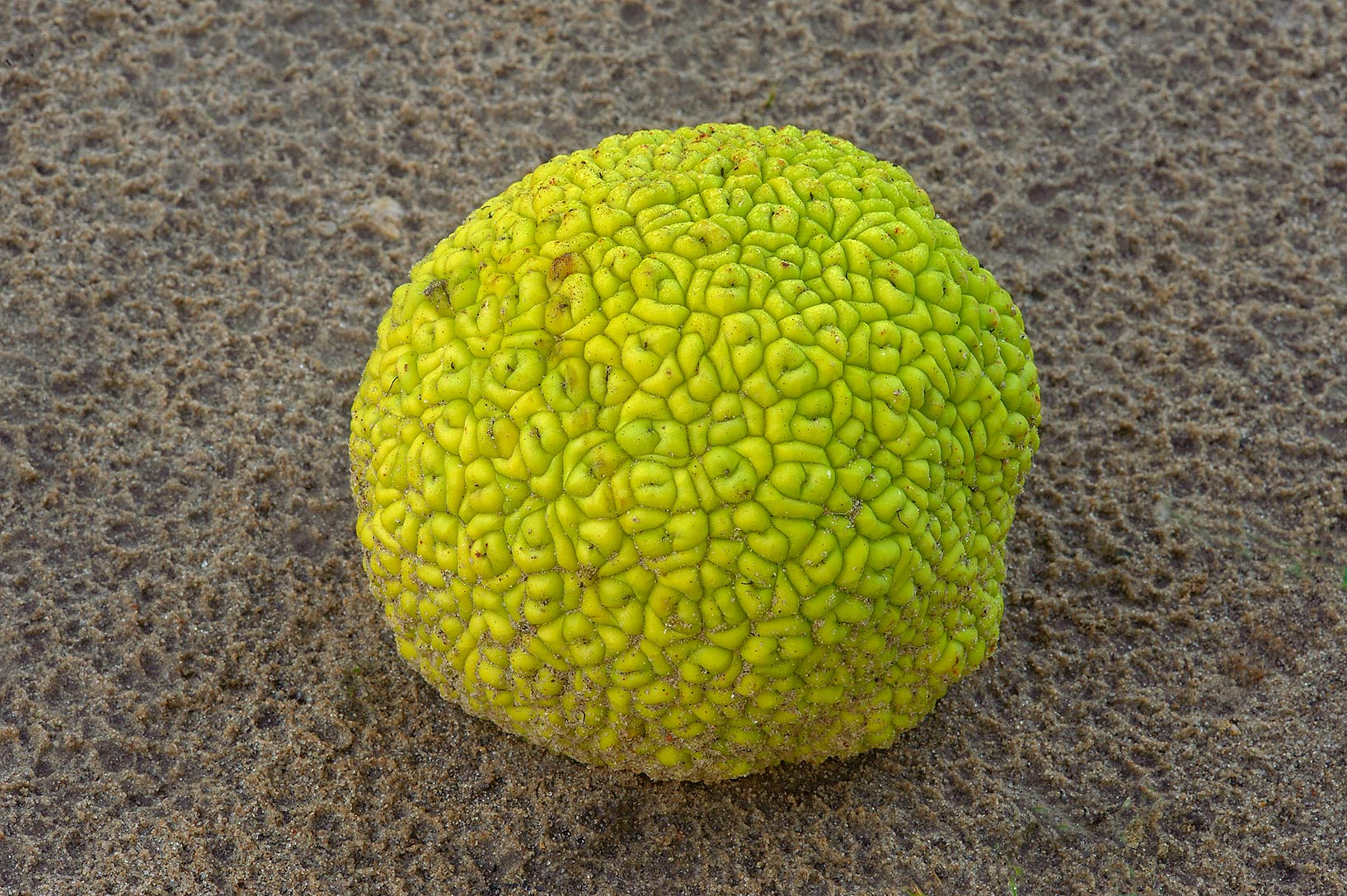 Horse apple (osage orange) on a trail in Lemontree Park. College Station, Texas