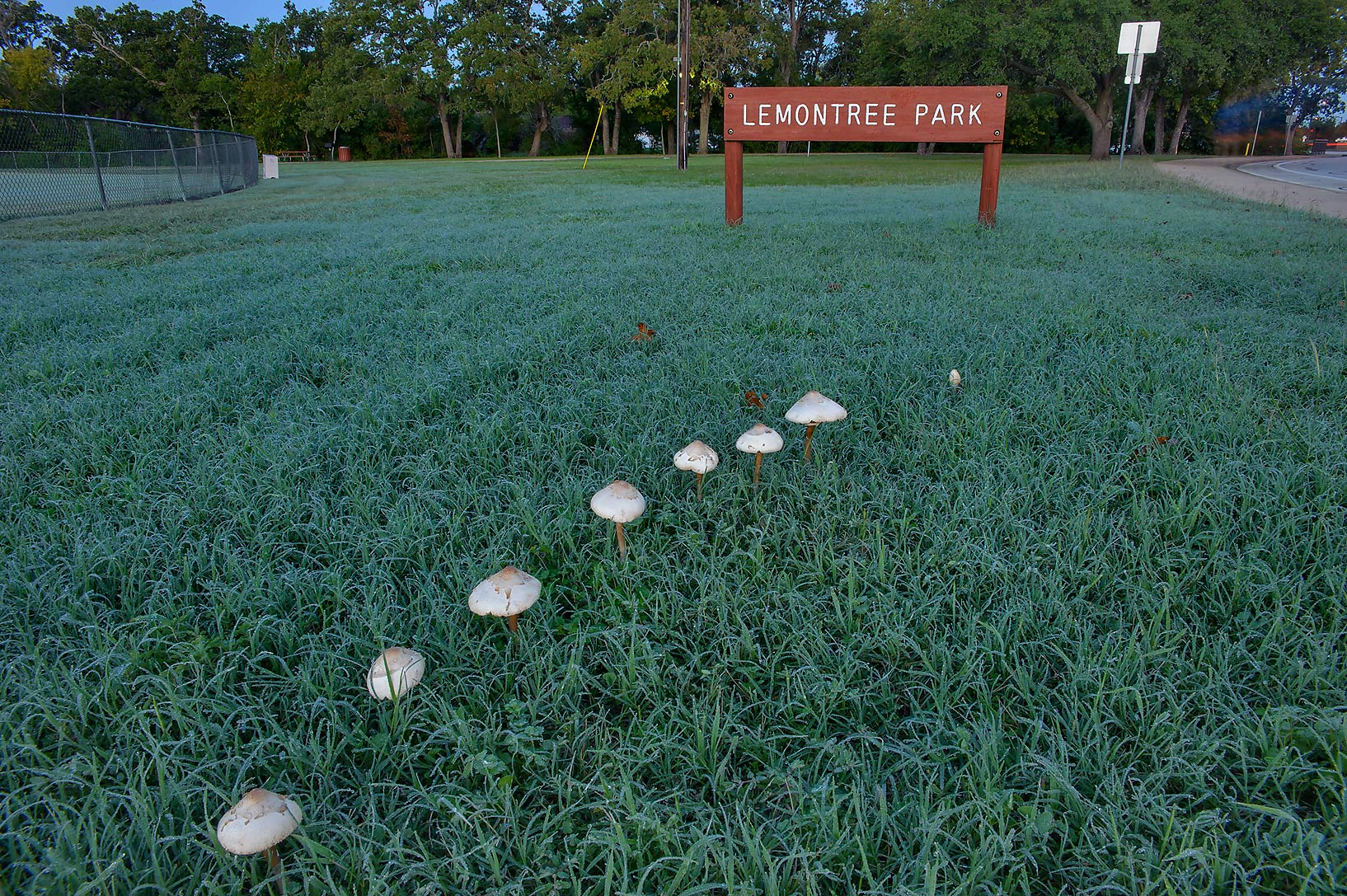 Fairy ring of false parasol mushrooms...Lemontree Park. College Station, Texas