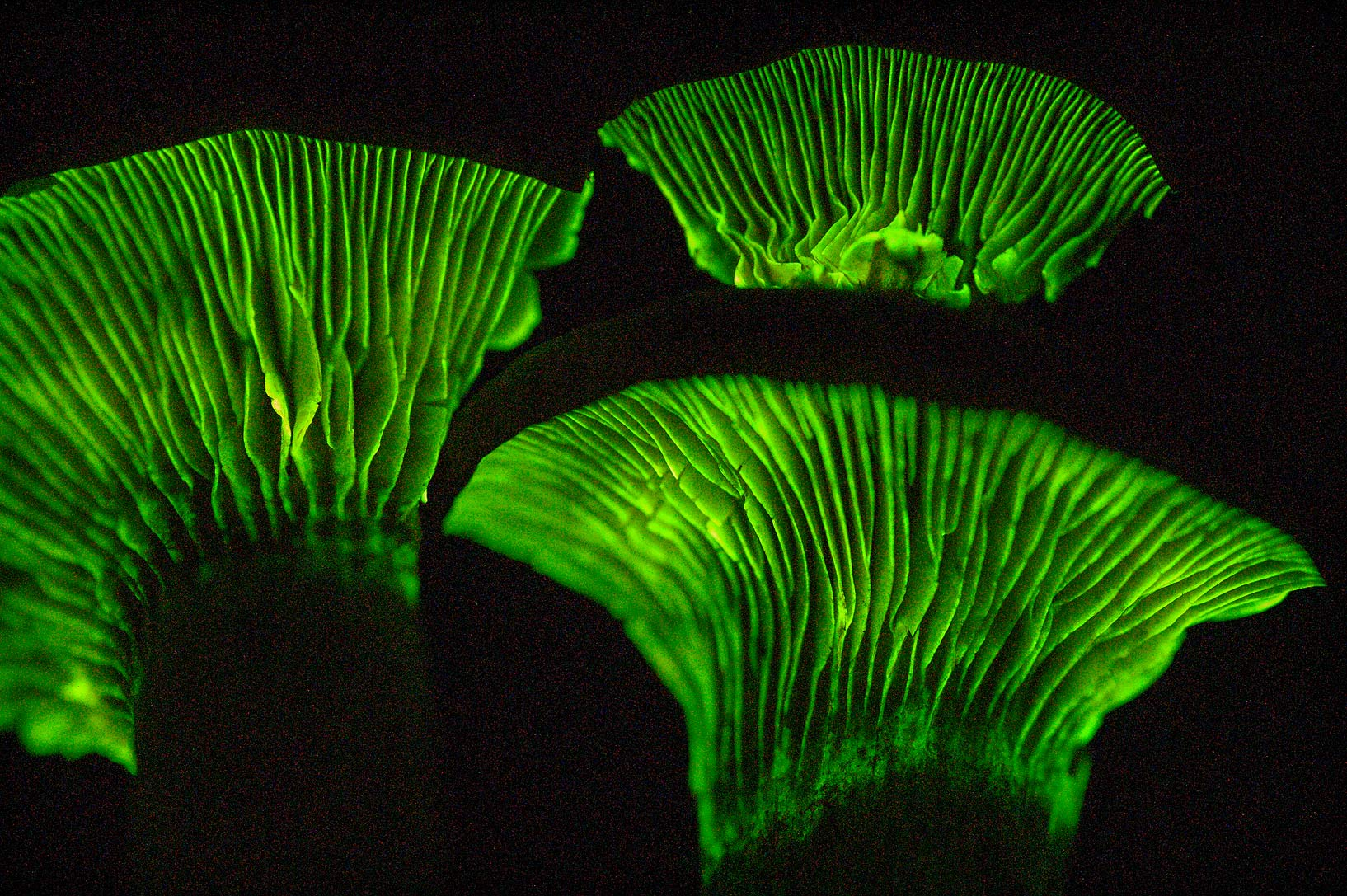 Luminescent gills of Jack-o-lantern (Omphalotus...Lemontree Park. College Station, Texas