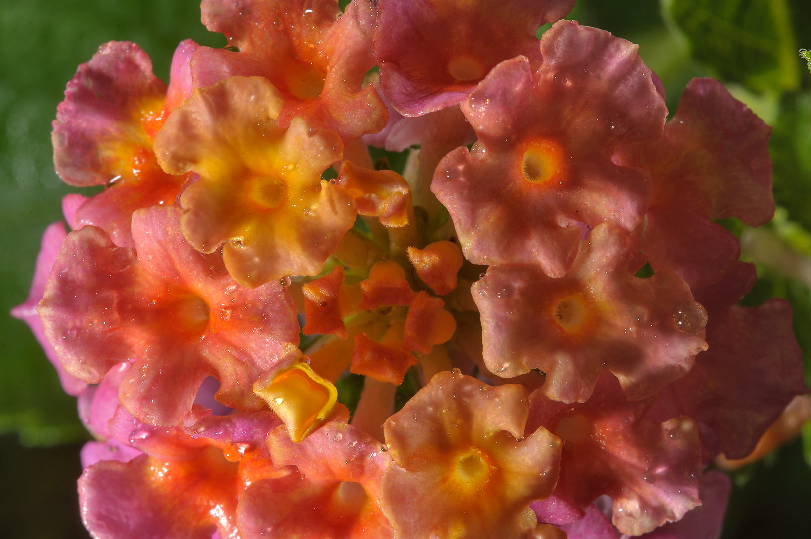 Lantana flowers in TAMU Horticultural Gardens in...M University. College Station, Texas