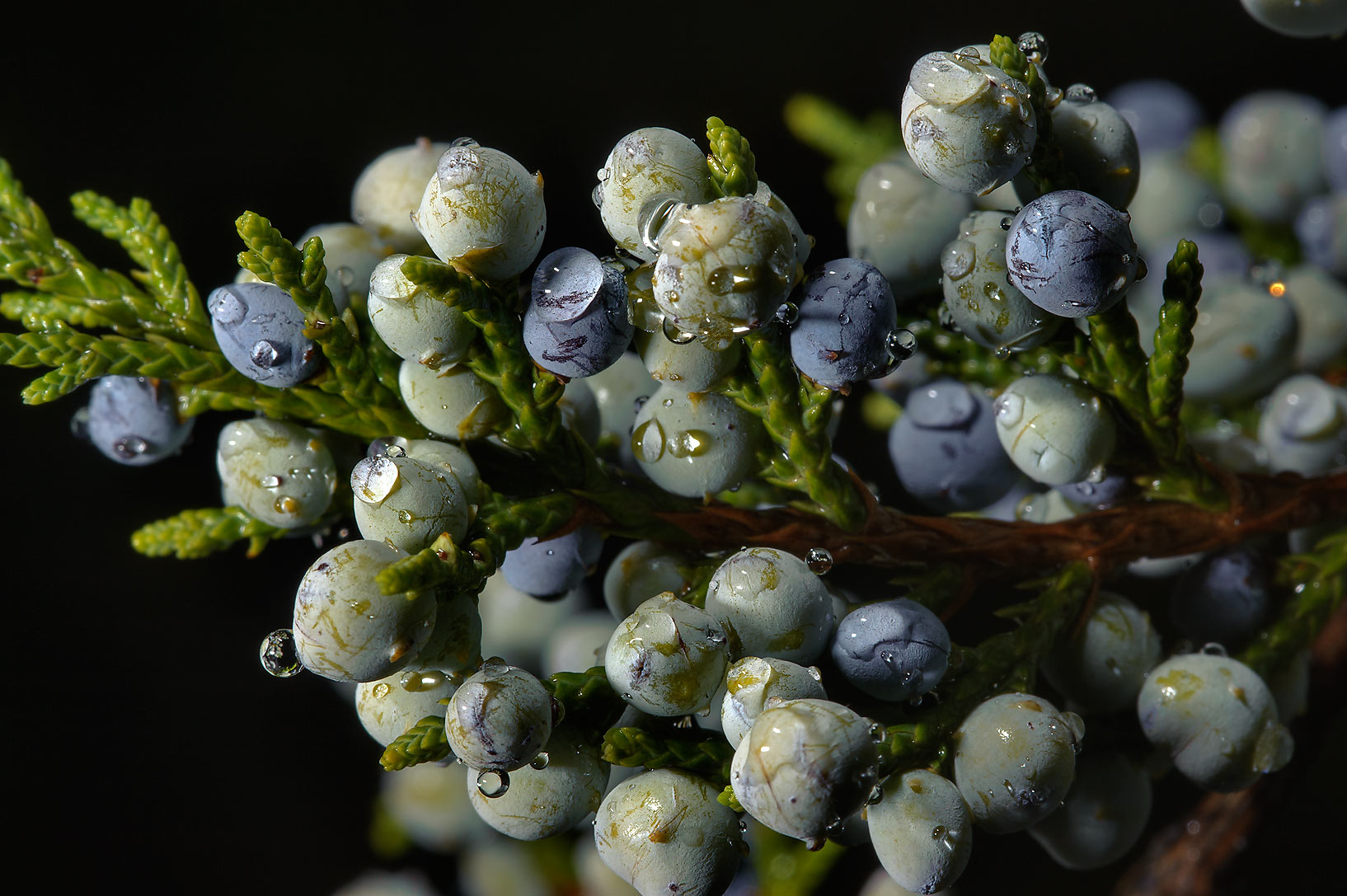 Juniper like berries of cedar in TAMU...M University. College Station, Texas