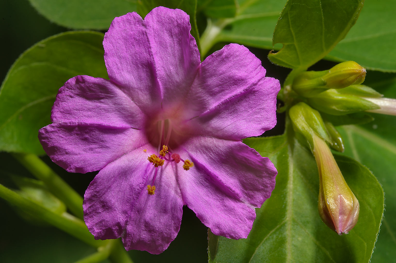 Close up of Four O'clock flower (Mirabilis) at...State Historic Site. Washington, Texas