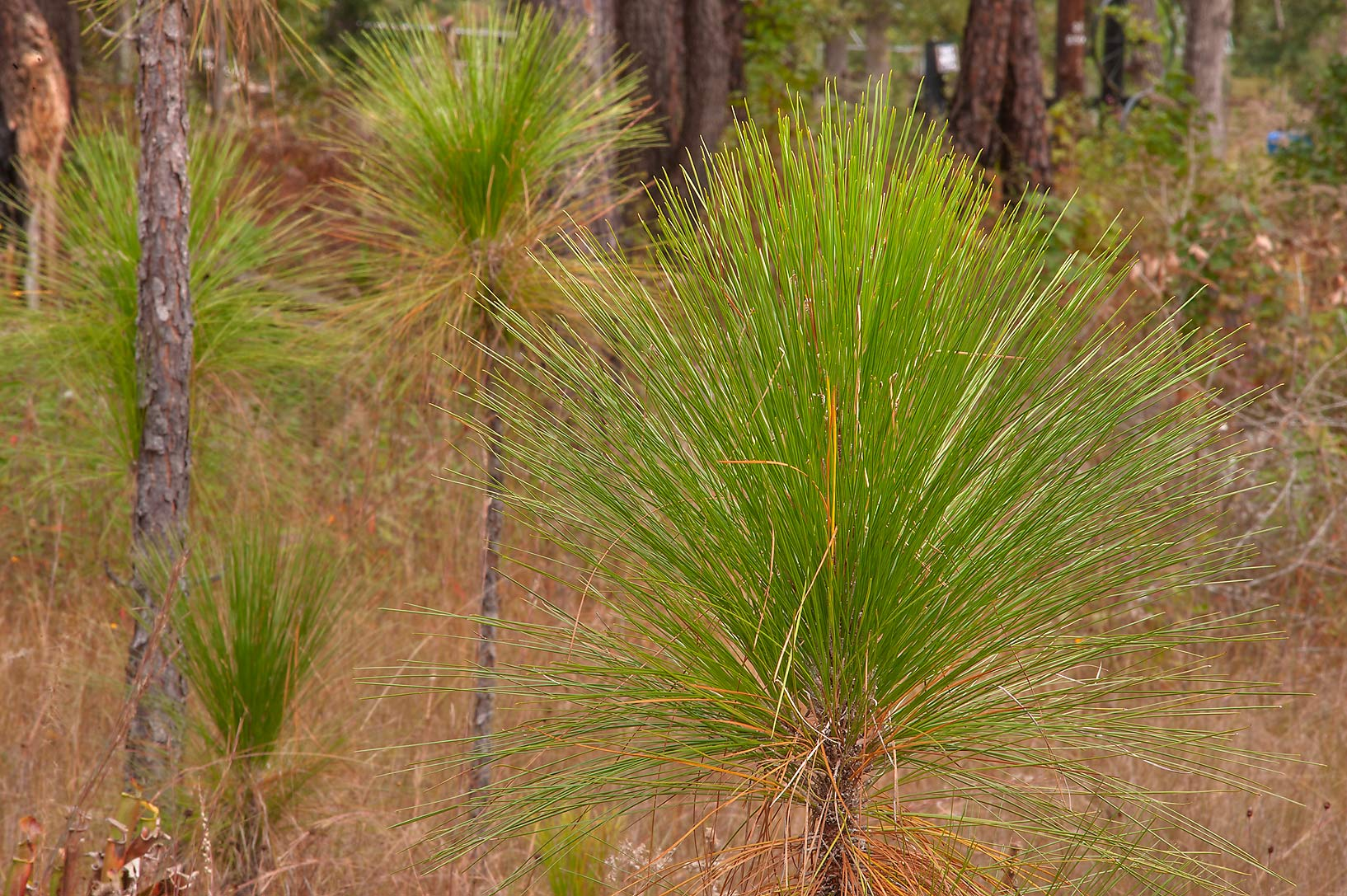 Grass stage seedlings of Longleaf Pine (Pinus...Native Plant Preserve. Warren, Texas