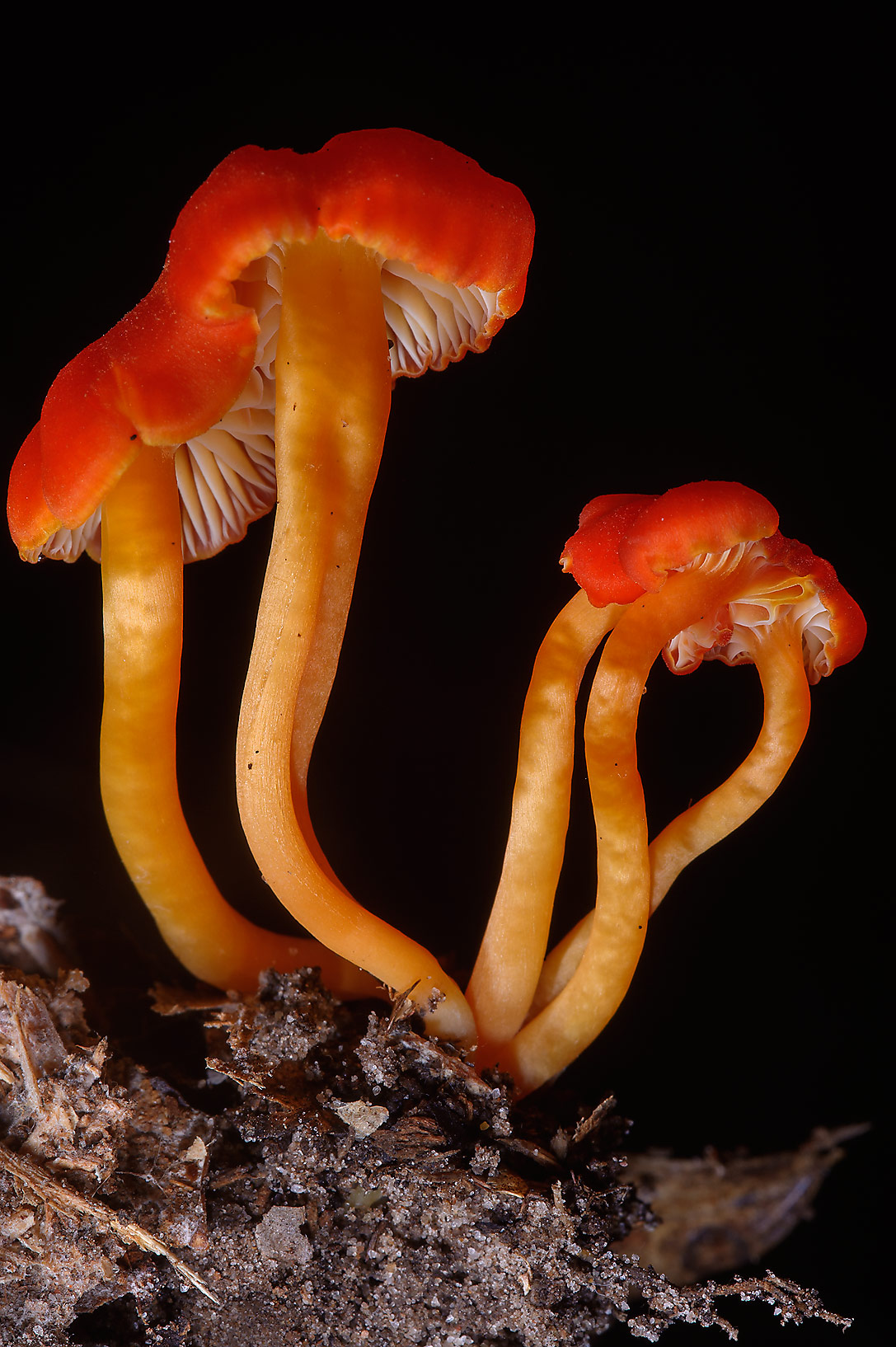 Bright red bodies of Vermilion waxcap mushrooms...National Preserve. Warren, Texas