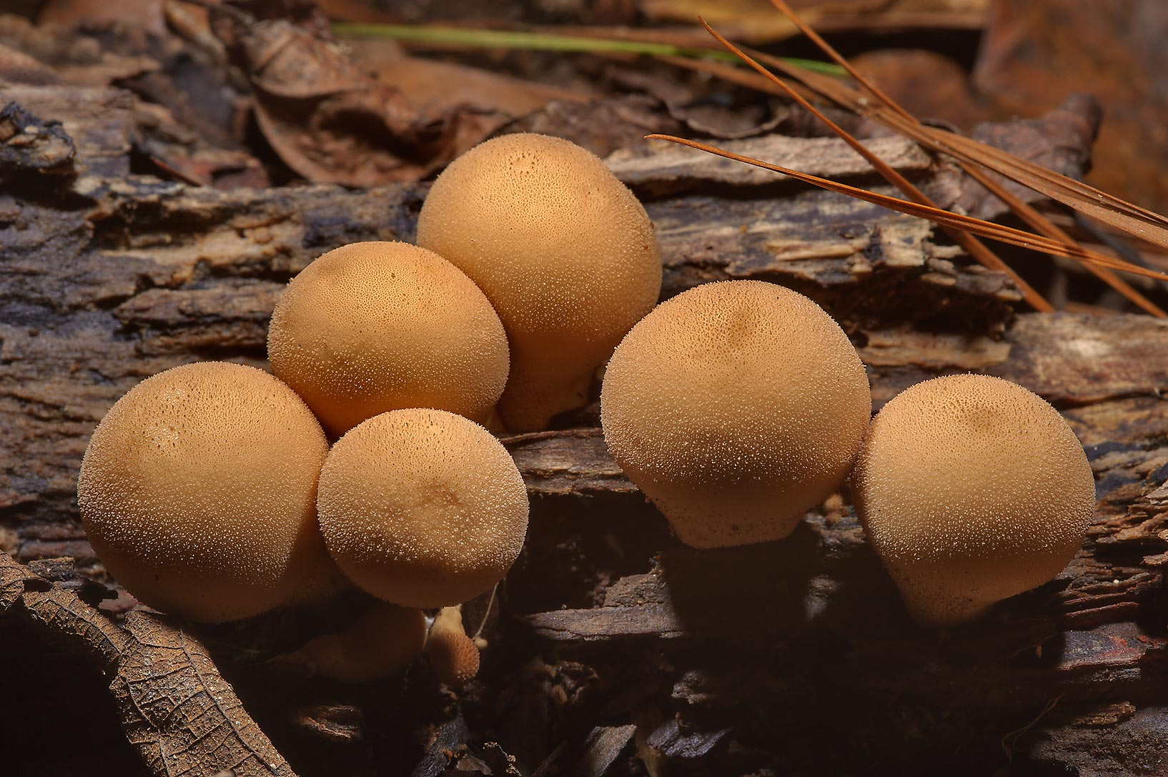 Pear-shaped stump puffball mushrooms (Lycoperdon...National Preserve. Warren, Texas