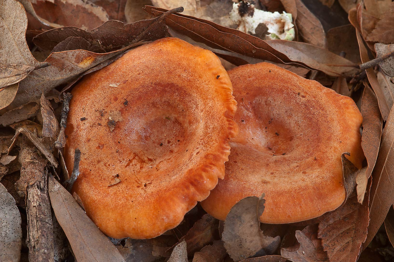 Milkcap mushrooms (Lactarius proximellus) under...Creek Park. College Station, Texas