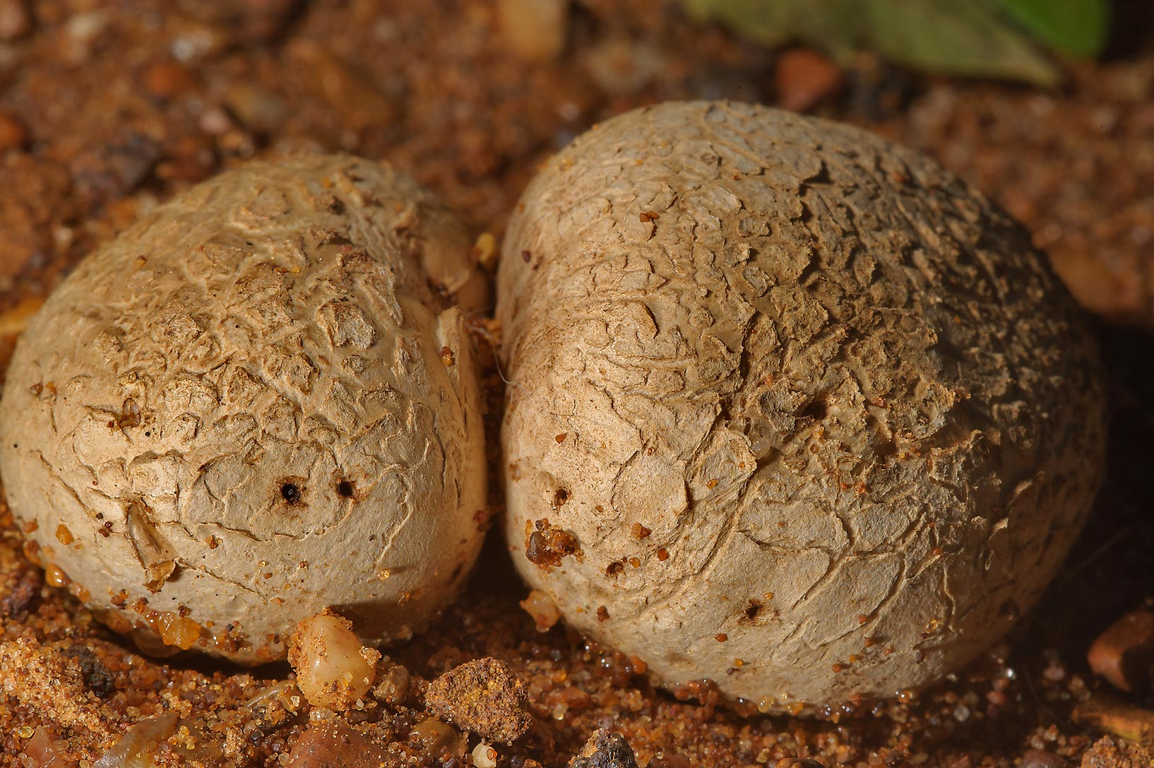 Tuff puffball mushrooms (dirty tennis ball fungi...Creek Park. College Station, Texas