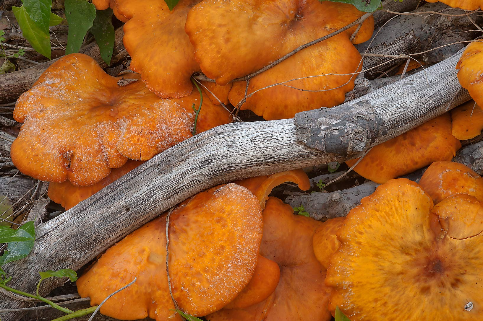 Jack-o-lantern mushrooms (Omphalotus olearius) in Bee Creek Park. College Station, Texas