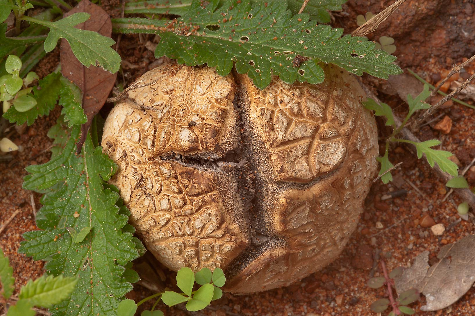 Mature tuff puffball mushroom (Scleroderma...Creek Park. College Station, Texas