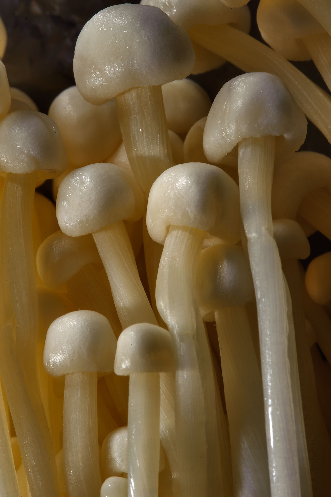 Close up of Enokitake mushrooms from City Center Carrefour supermarket. Doha, Qatar