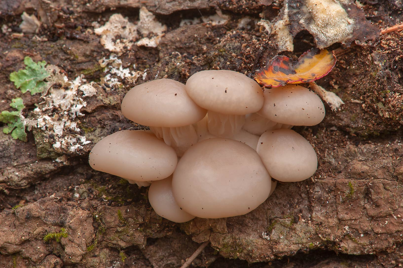 Oyster mushrooms (Pleurotus ostreatus) in Huntsville Park. Texas