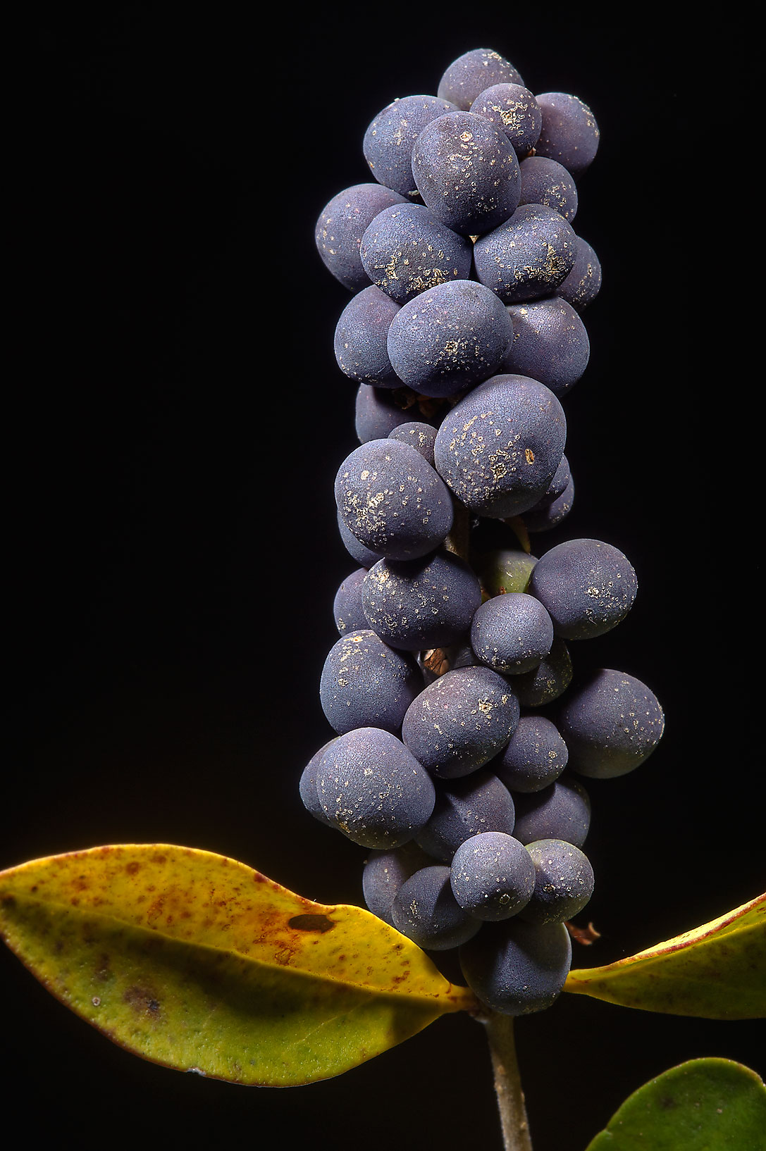 Grape like berries of Japanese Privet bush...Pen Creek Park. College Station, Texas