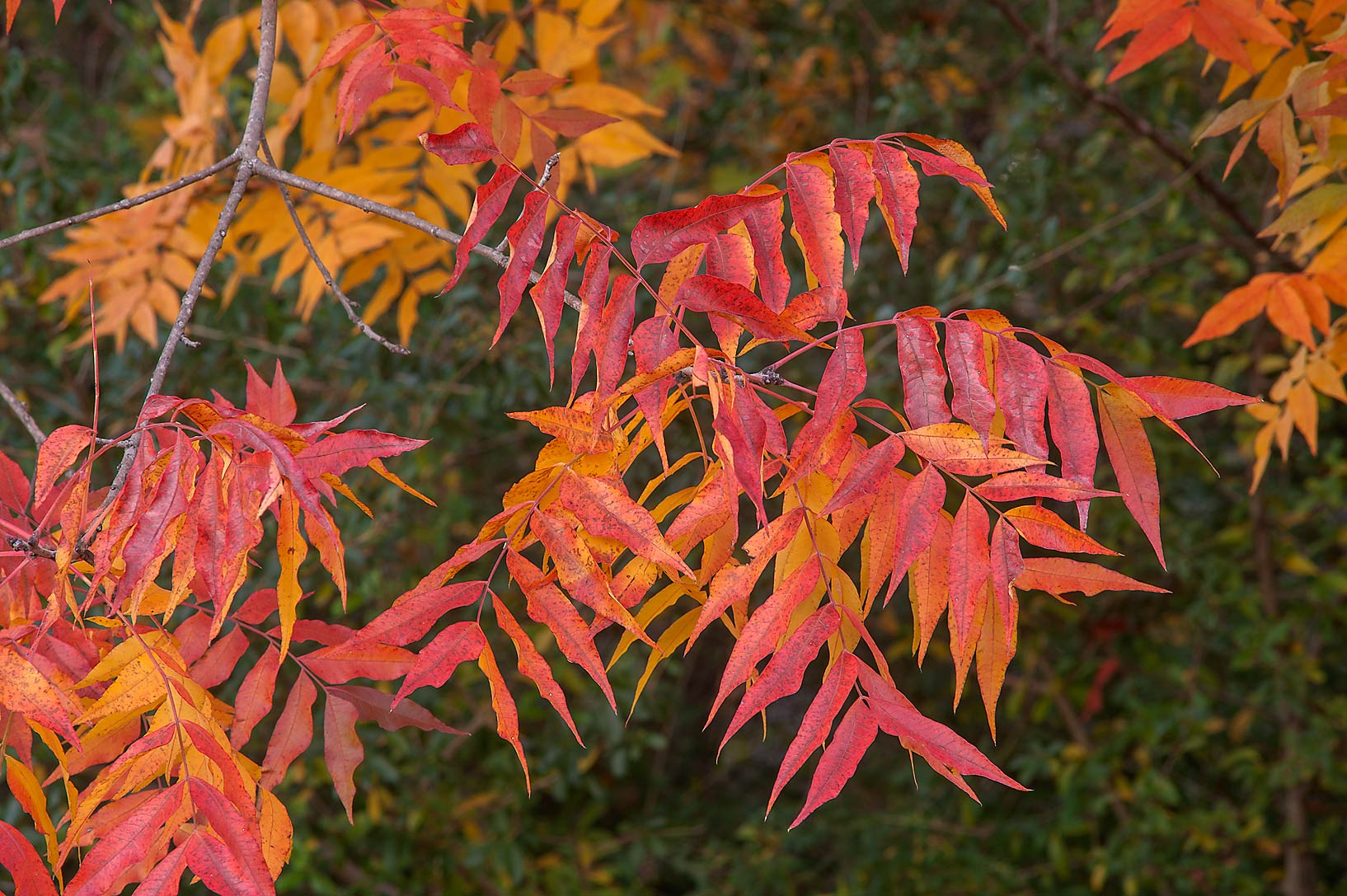 Orange color of fall foliage of Chinese Pistache...M University. College Station, Texas