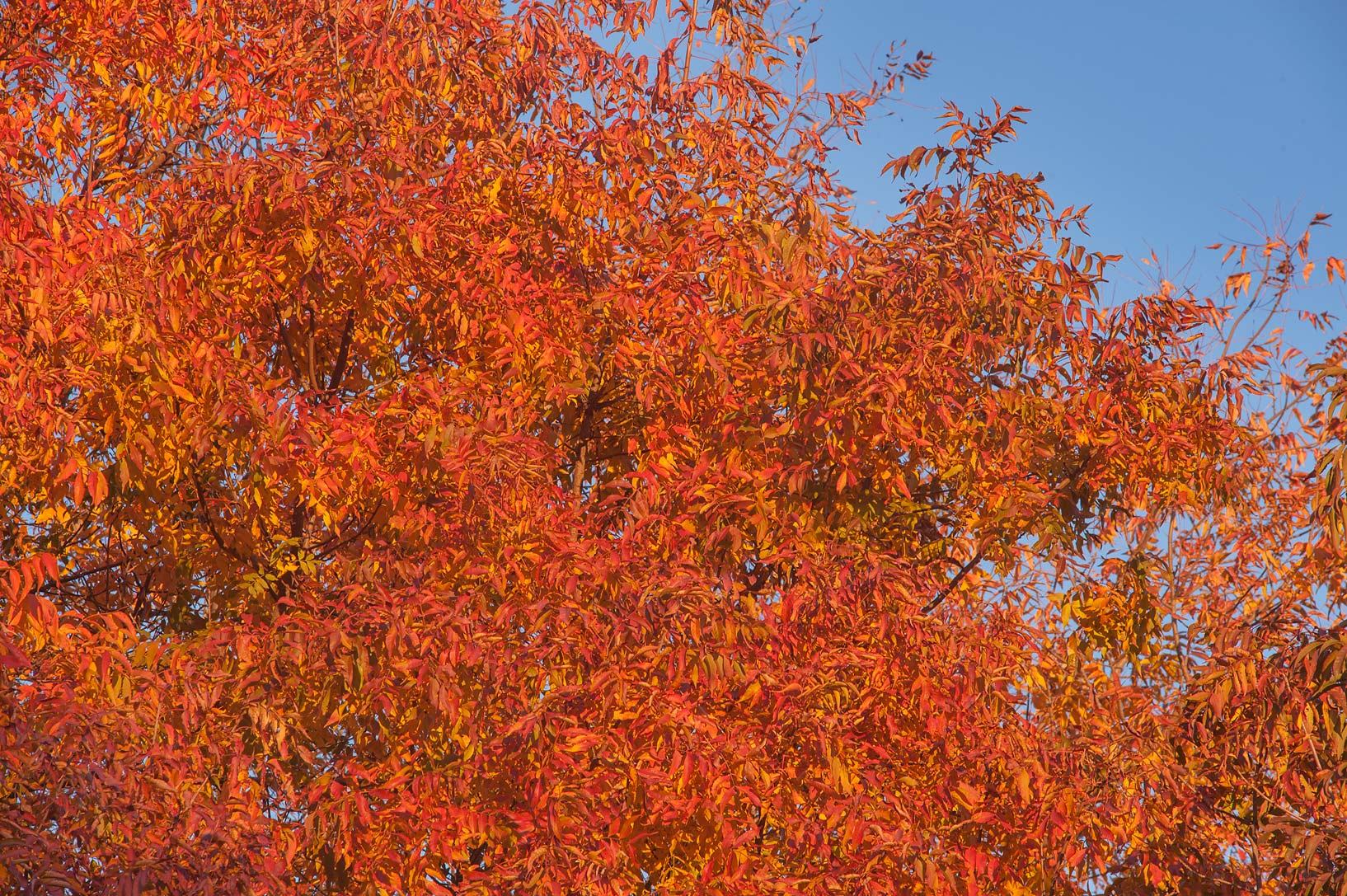 Brilliant orange leaves of Chinese Pistache...M University. College Station, Texas