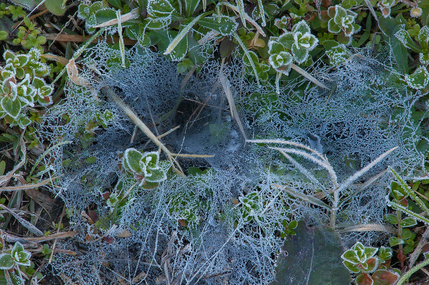 Funnel spider web in freeze on ground in TAMU...M University. College Station, Texas