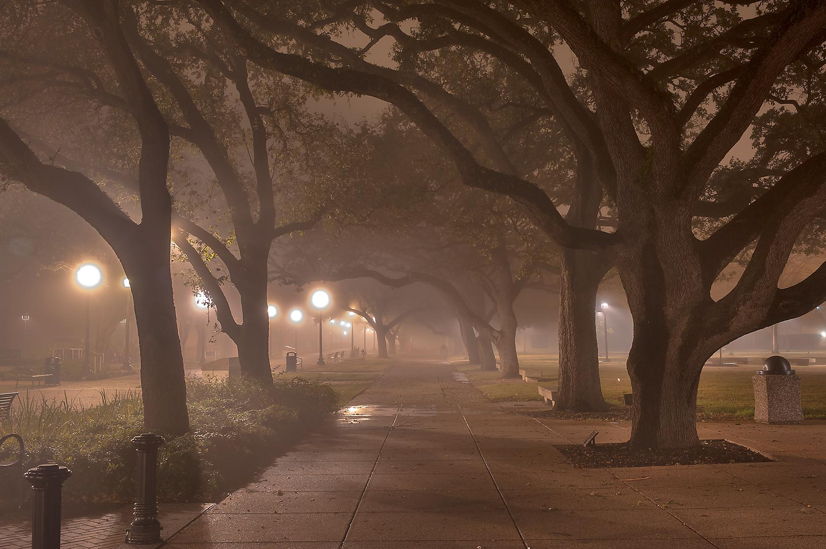 Oak alley of Military Walk on campus of Texas A&M University. College Station, Texas