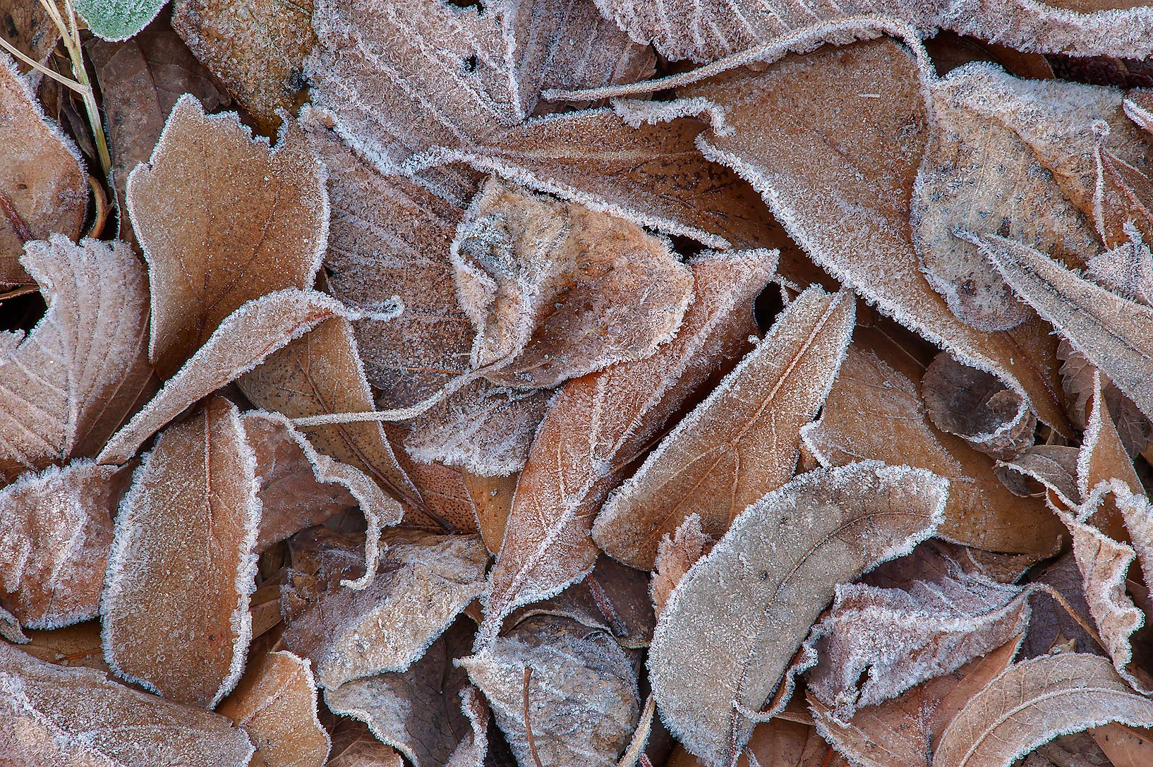 Morning freeze on dry leaves of Park Hudson Trail. Bryan, Texas