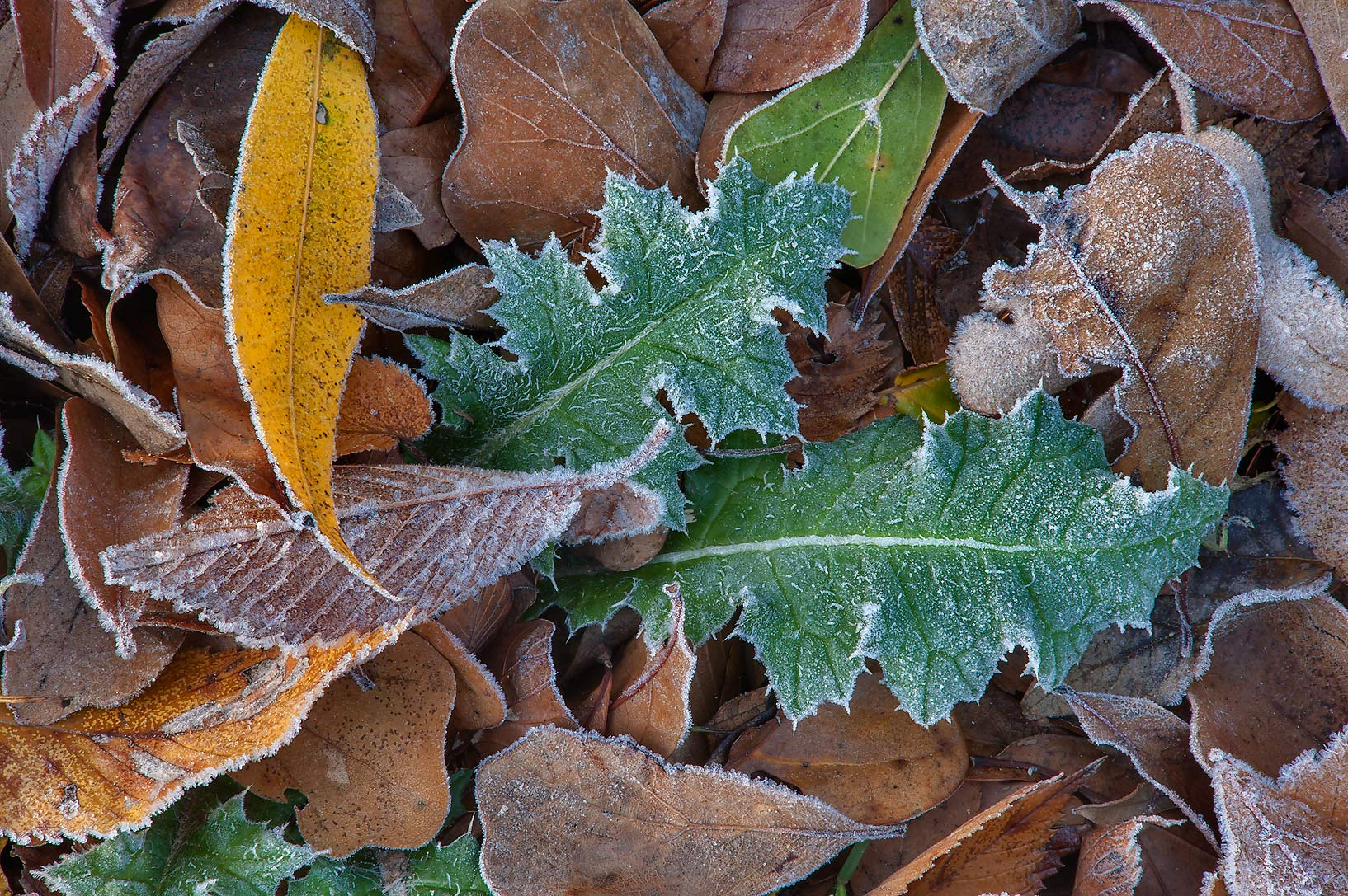 Morning freeze on various leaves of Park Hudson Trail. Bryan, Texas