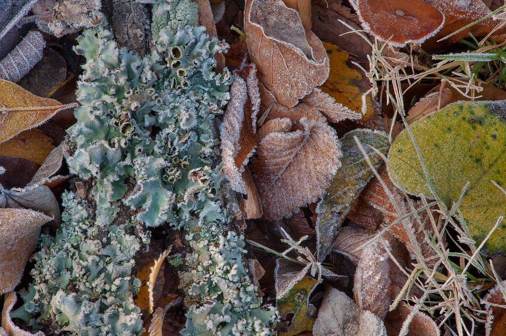 Morning freeze on leaves and lichen of Park Hudson Trail. Bryan, Texas
