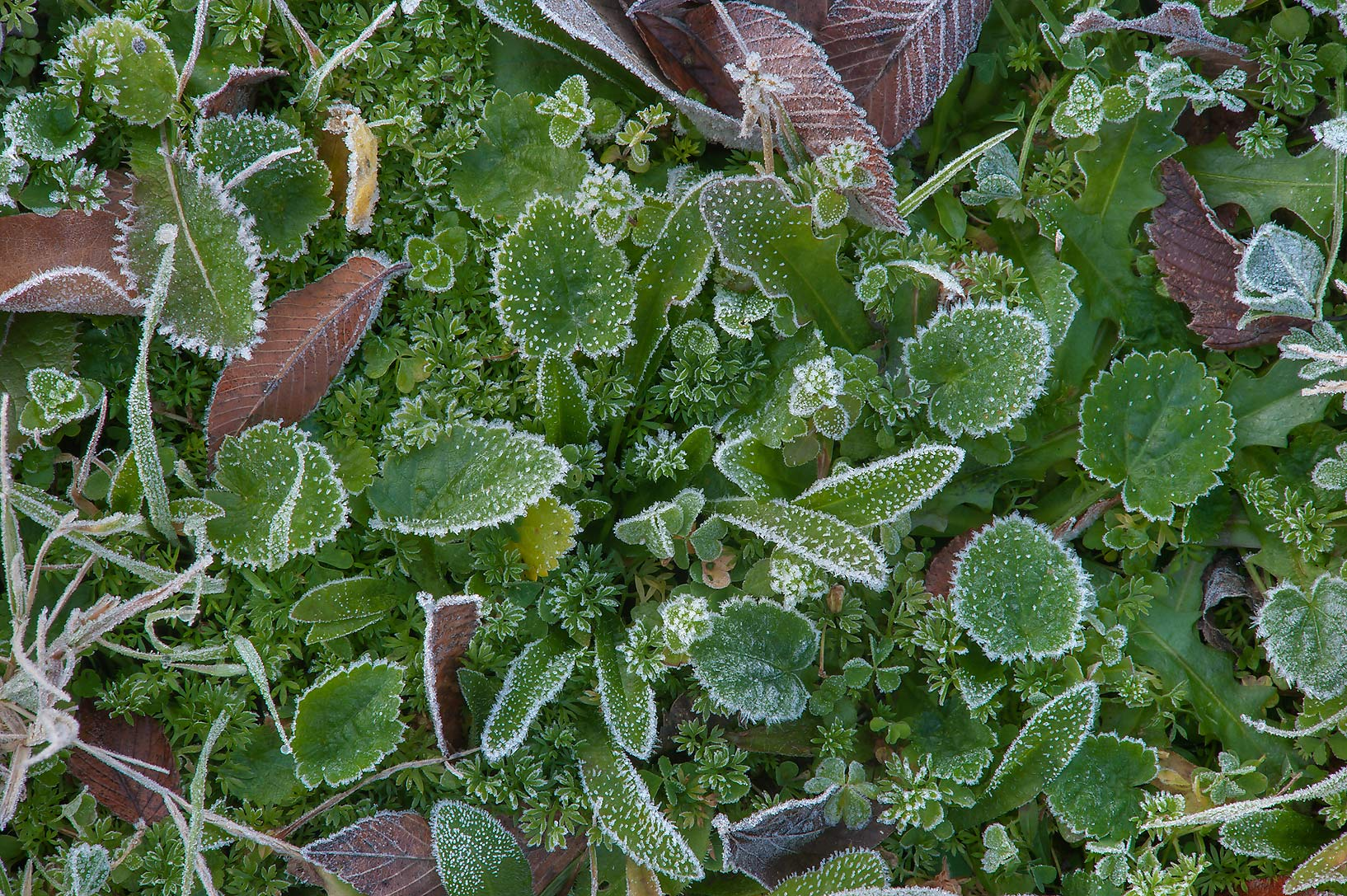 Morning freeze on green leaves of Park Hudson Trail. Bryan, Texas