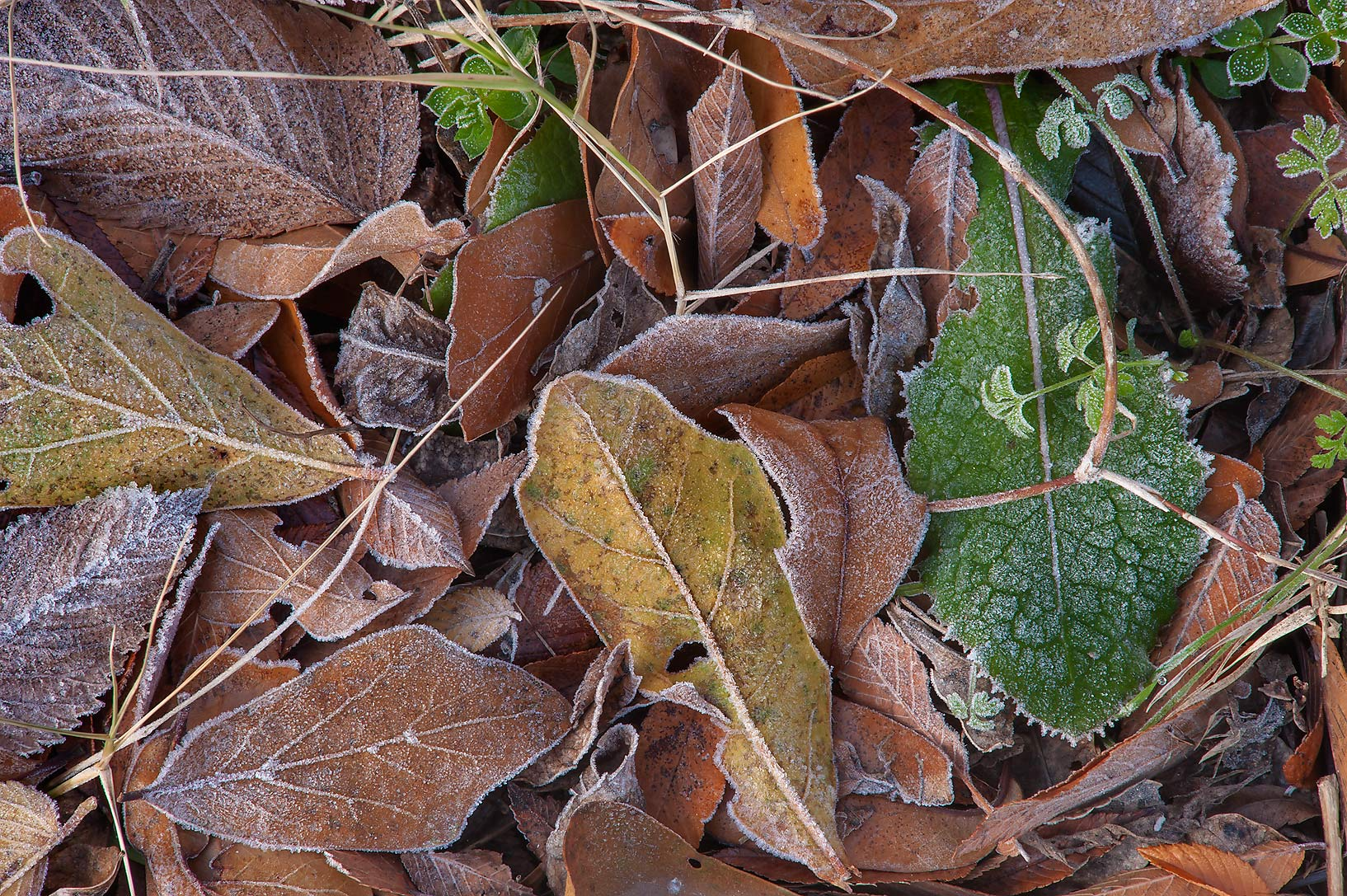 Morning freeze on oak leaves of Park Hudson Trail. Bryan, Texas
