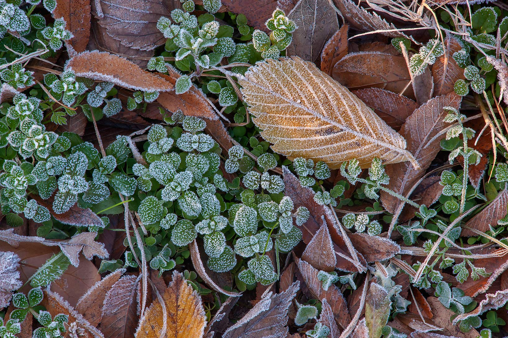 Morning freeze on small leaves of Park Hudson Trail. Bryan, Texas