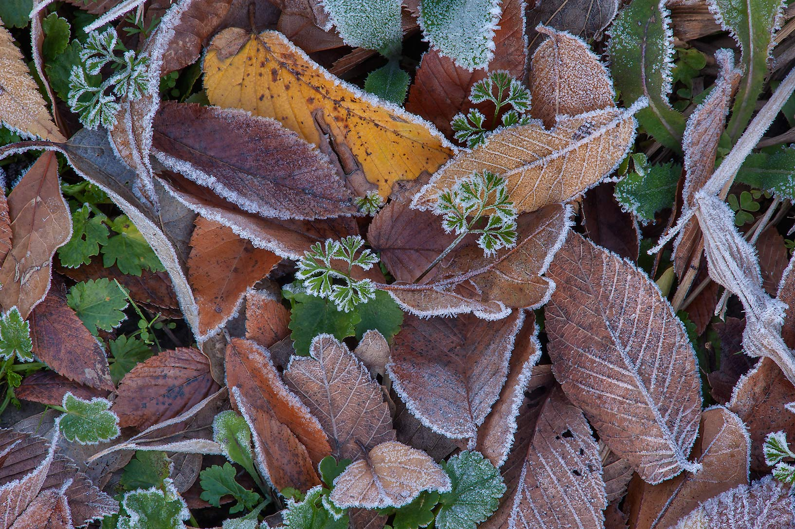 Morning freeze on brown and green leaves of Park Hudson Trail. Bryan, Texas