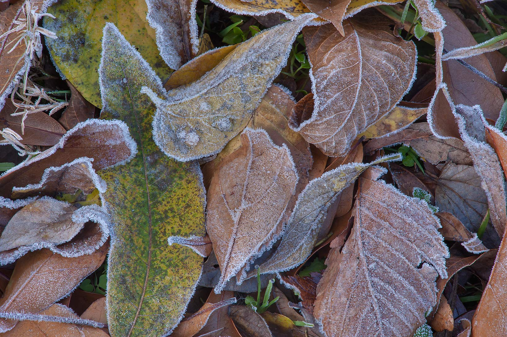 Morning freeze on various fall leaves of Park Hudson Trail. Bryan, Texas
