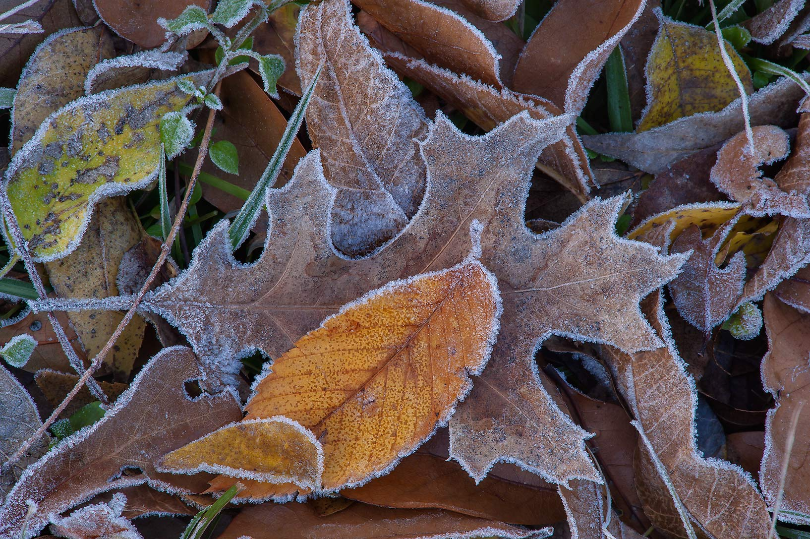 Morning freeze on dry oak leaves of Park Hudson Trail. Bryan, Texas