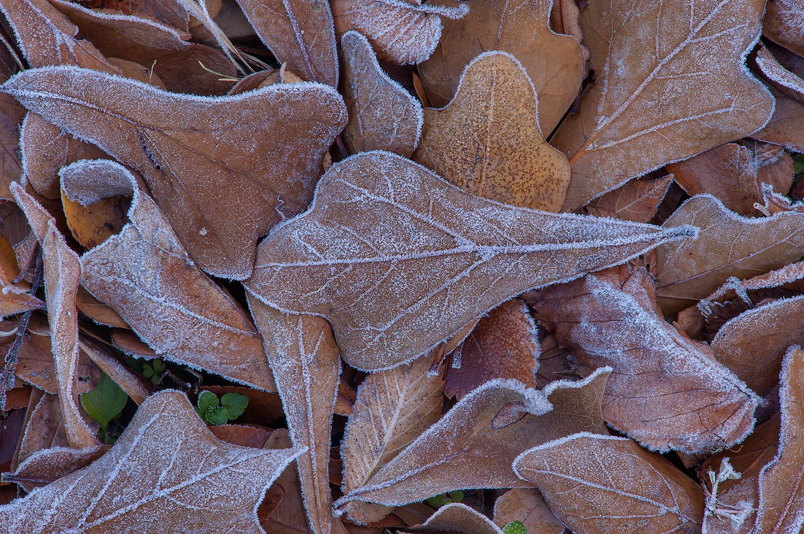 Morning freeze on brown oak leaves of Park Hudson Trail. Bryan, Texas