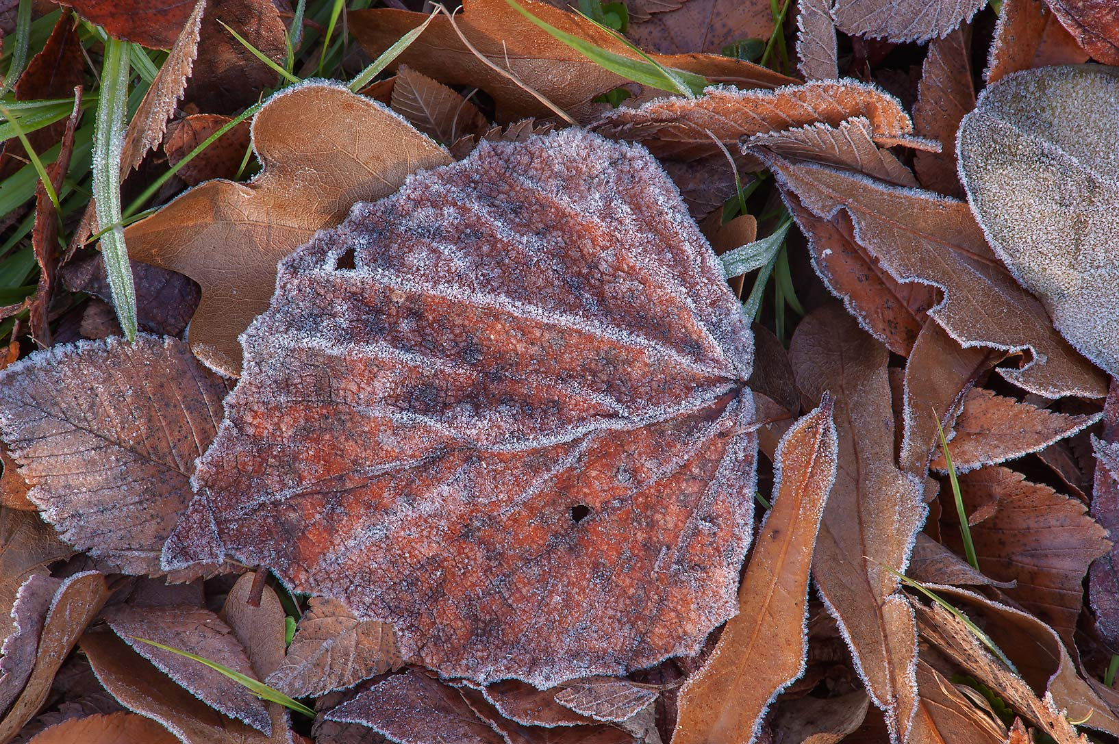 Morning freeze on a brown leaf of Park Hudson Trail. Bryan, Texas
