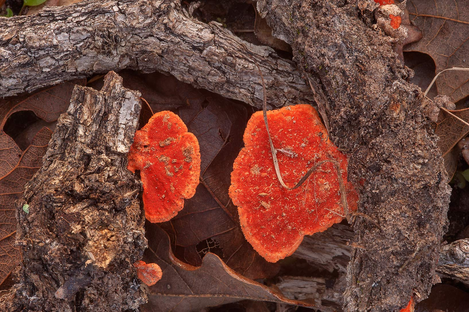 Underneath side of red shelves of Pycnoporus...Creek Park. College Station, Texas