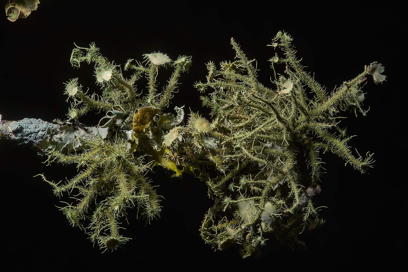 Beard lichen (Usnea cirrosa) on a downed limb in Lick Creek Park. College Station, Texas
