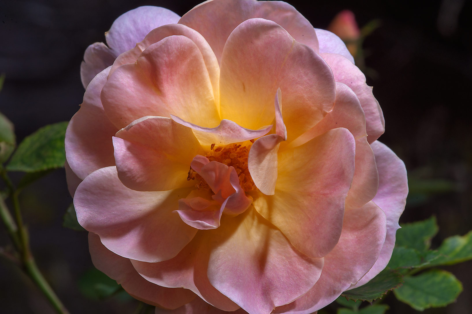 Tea rose in Antique Rose Emporium. Independence, Texas