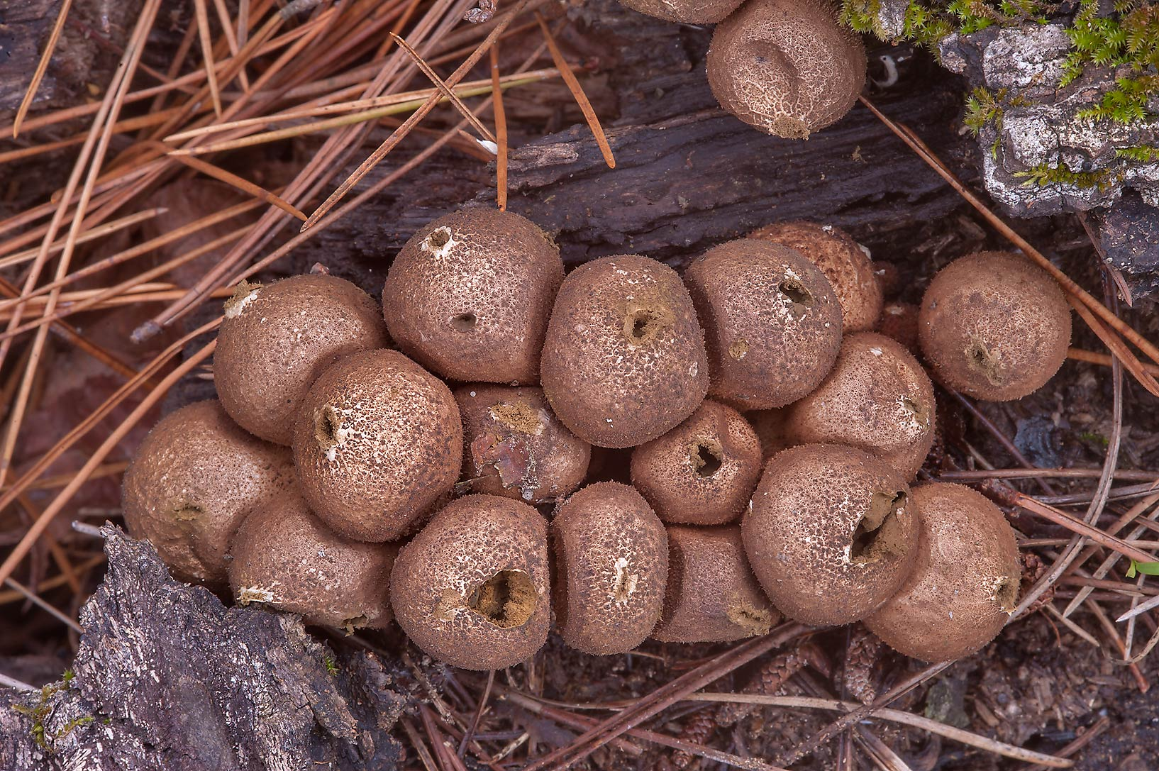 Dry brown pear-shaped puffball mushrooms (Lycoperdon pyriforme) in Huntsville Park. Texas