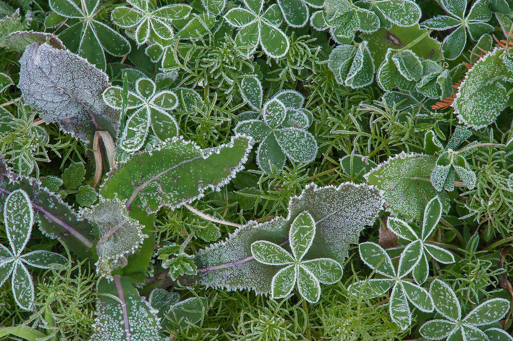 Rosettes of leaves in freeze in TAMU...M University. College Station, Texas