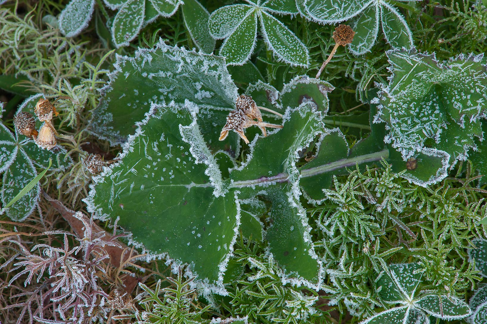 Sow thistle in freeze in TAMU Horticultural...M University. College Station, Texas