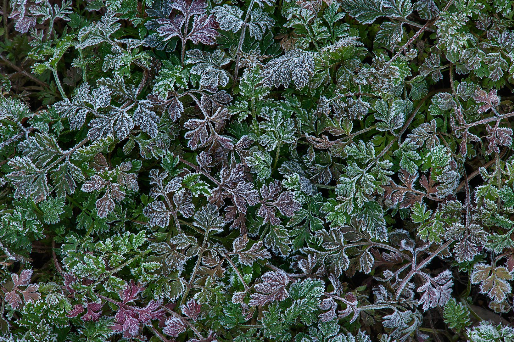Small leaves in freeze in TAMU Horticultural...M University. College Station, Texas
