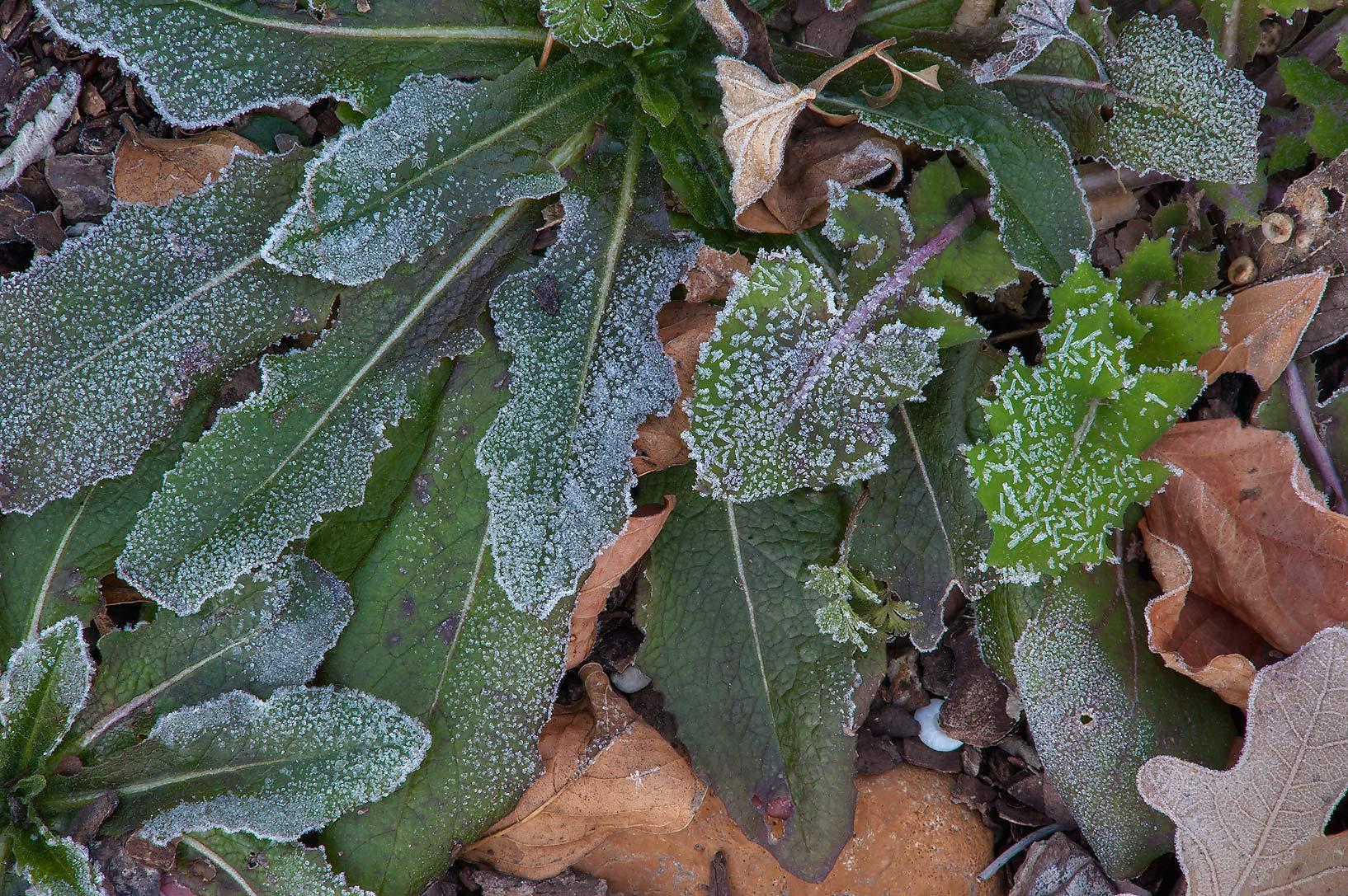 Rosette of leaves in freeze in TAMU Horticultural...M University. College Station, Texas